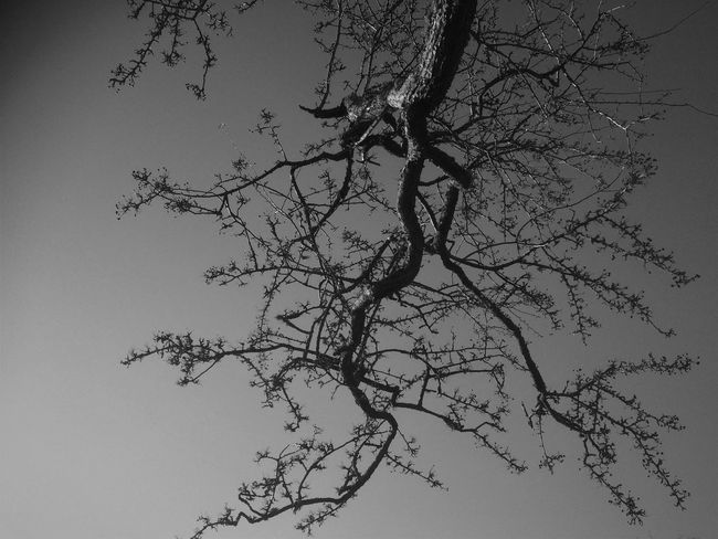 Beauty In Nature Blackandwhite Branch Close-up Day Hawthorn Hawthorne Tree Low Angle View Nature No People Outdoors Silhouette Sky Thorn Tranquility Tree