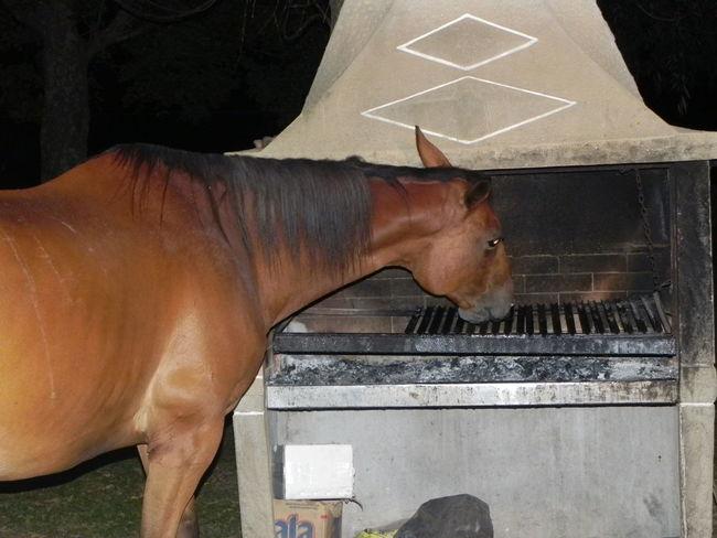 Barbecue Caballo Crazy Eat Horse Parrila Thief