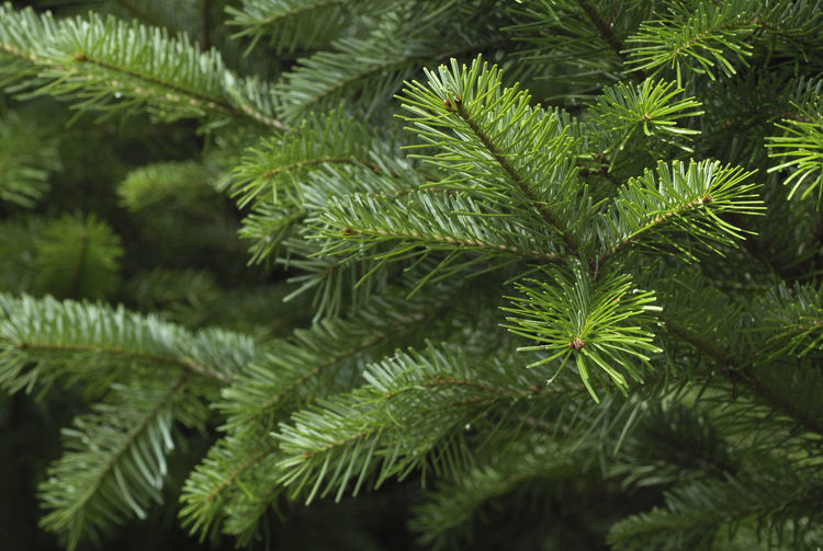 Spruce tree branches close-up. Christmas background. Backgrounds Beauty In Nature Branch Close-up Coniferous Tree Day Focus On Foreground Freshness Full Frame Green Green Color Growth Leaf Leaves Nature Needle - Plant Part No People Outdoors Pine Tree Plant Plant Part Selective Focus Tranquility Tree Tree; Green; Spruce; Fir; Environment; Forest; Nature; Tree Branch; Park; Plant; Forestry; Needle; Pine; Background; Decoration; Twig; Wooded; Urge; Lush; Trunk; Botany; Vegetation; Timberland; Detail; Coppice; Pine Forest; Wood; Coniferous; Conifer; Xmas