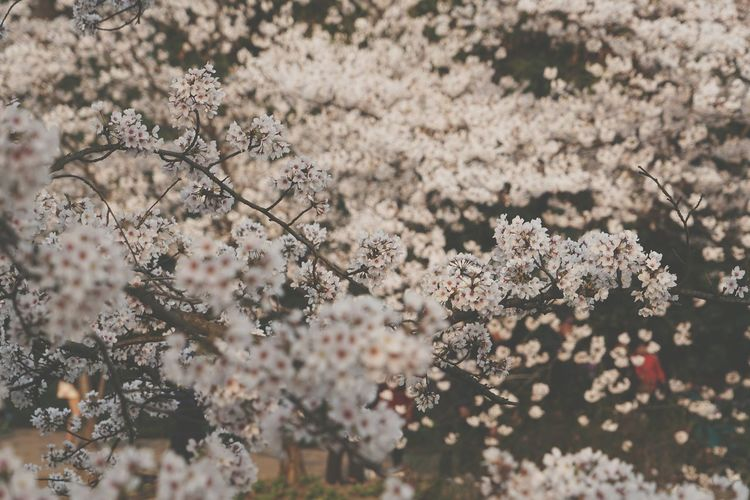 China Photos Cherry Blossoms Tree Beautiful Day Enjoying The Sun Travel Walking Around Urban Spring Fever People Watching Taking Photos Outdoors Springtime Flowerpark Flower Feel The Journey Streamzoofamily Showcase April 43 Golden Moments