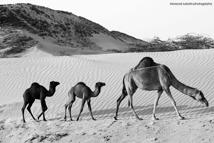 Camels Walking On Desert