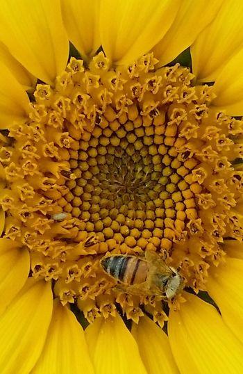 Can you spot me? Sunflower Flower Flower Head EyeEm Best Shots EyeEmNewHere EyeEm Bee Outdoors