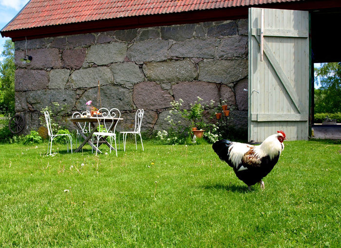 Chicken perching on grassy field outside house