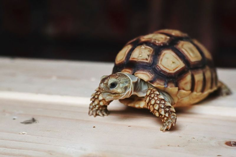 Close-up of turtle on a table