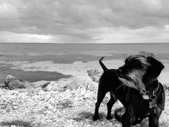 Dog Beach Dog At Beach Black And White Dog Dog Traveller Dog At Cancun