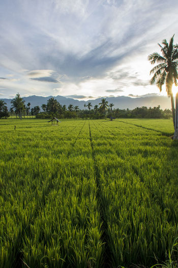 Plant Landscape Sky Scenics - Nature Growth Land Agriculture Green Color Tranquil Scene Cloud - Sky Tree Beauty In Nature Environment Rural Scene Tranquility Nature Tropical Climate Farm No People Outdoors Coconut Palm Tree Plantation Rice Rice Paddy Rice Paddy Fields View
