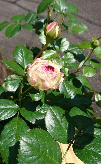 Flower Rose - Flower No People やっと開きましたん🌹