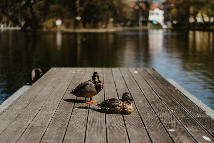 Ducks on a pier
