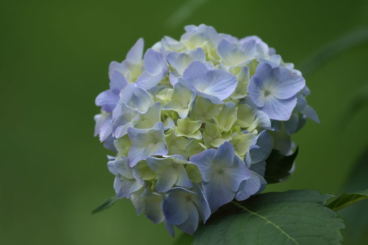 Hope your day is beautiful!😊 Flower Hydrangea Hydrangea Flower Nature Snowball Flowers Hydrangea Blue Blue Flowers Blossoms  Close-up Green Background Beauty In Nature