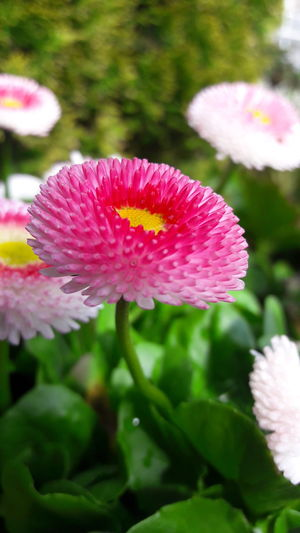 Flower Nature Plant Growth Day Close-up No People Beauty In Nature Flower Head Pink Color Outdoors Freshness