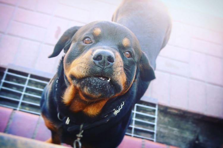 Rottweilerlife Rottielove One Animal Pets Dog Doglife