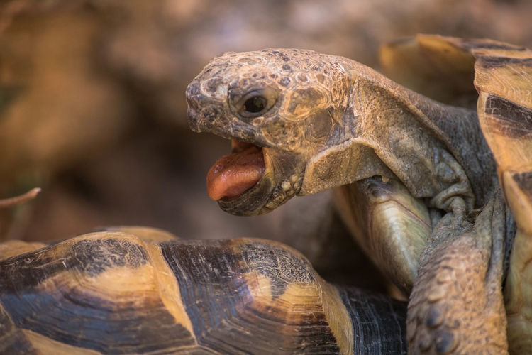 Close-up of tortoise mating