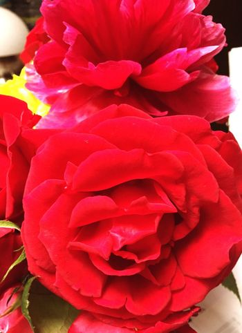 Flower Petal Nature Beauty In Nature Flower Head Rose - Flower Fragility Freshness No People Close-up Plant Bouquet Blooming Growth Peony  Day Outdoors Red Roses Rose🌹 Pfingstrosen пион Rot красный Flowers