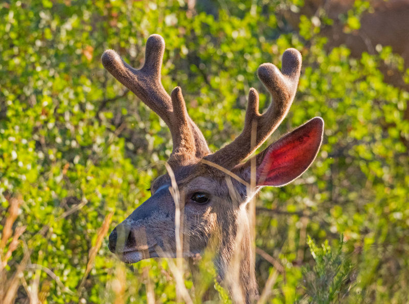 Jul 2018 - A young Mule Deer Buck in velvet @ Garden of the Gods Park Animal Animal Body Part Animal Head  Animal Themes Animal Wildlife Animals In The Wild Antler Close-up Day Deer Early Morning Wildlife Field Herbivorous Land Mammal Mule Deer Buck Nature No People One Animal Outdoors Plant Tree Velvet Antlers