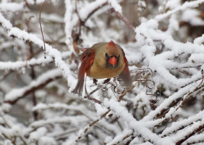 Winter Bird Flight Bird Cardinal Winter Snow Cold Temperature One Animal Animals In The Wild Animal Themes Weather