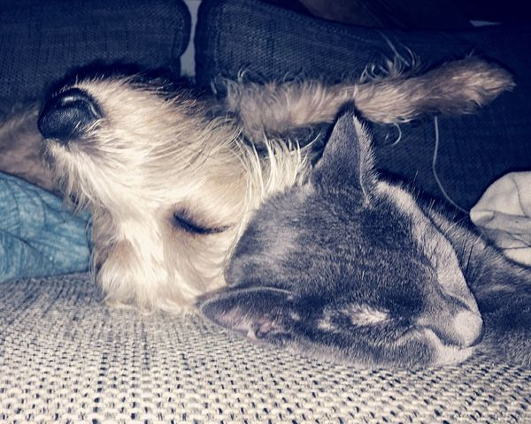 Grey & Fine III Domestic Animals Pets Animal Themes Mammal Domestic Cat Sleeping Relaxation No People Lying Down Close-up Cat Cats Pet Love ❤️ Friends Best Friends Friendship Cat And Dog Dog And Cat Togetherness Love Together Forever Cute Lazy Day Curious Frienfdgu Special Friends