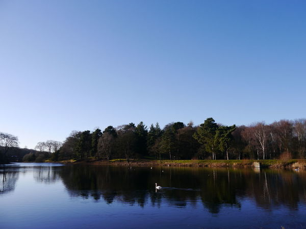 NostellPriory Animal Themes Animals In The Wild Beauty In Nature Bird Blue Clear Sky Day Lake National Trust 🇬🇧 Nature No People Outdoors Reflection Scenics Sky Swan Swimming Tranquility Tree Water