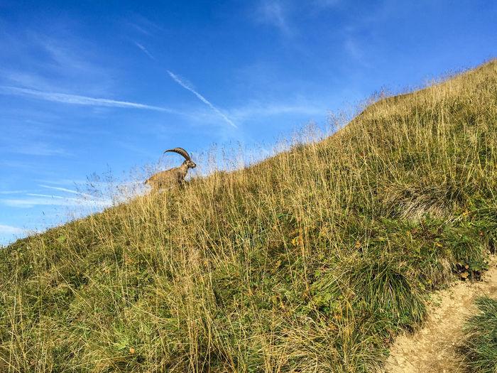 Capricorn Capricorn Grass Nature Animal Mountain No People One Animal Sky Wildlife
