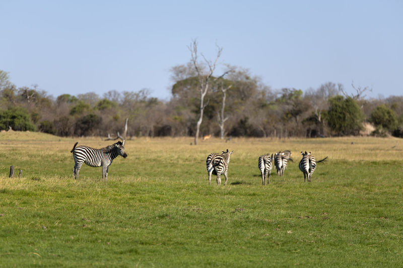View of zebras on grassy field
