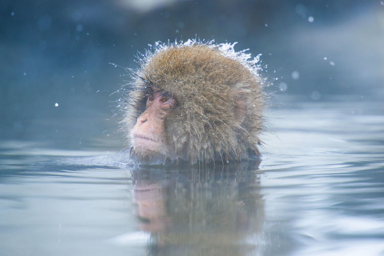 Snow monkey in a hot spring, Nagano, Japan. Animal Themes Animal Wildlife Animals In The Wild Close-up Cold Temperature Day Hot Spring Japanese Macaque Lake Mammal Monkey Nature No People One Animal Outdoors Reflection Snow Water Waterfront Winter