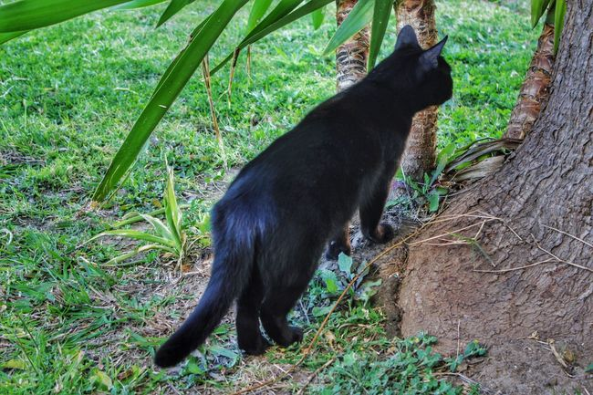 I ❤ Cat  Hunting Cat Hunting  The Hunter Prowl Prowling Black Cat Black Cats Black Cat Is Just So Beautiful. Black Cat <3 Black Cat Hunting Cat Lovers Cat Photography Cat Photo Cat Photos The hunter stalking her prey 😊