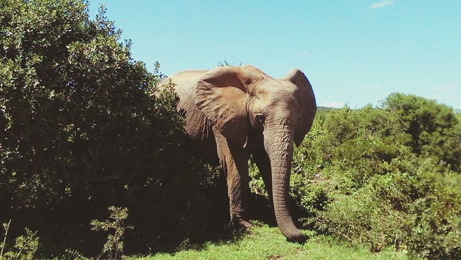 Elephant Amidst Trees On Grassy Field Against Sky