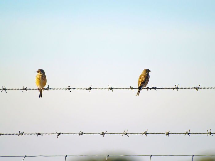 Low Angle View Of Birds Perching On Barbed Wire Against Clear Sky