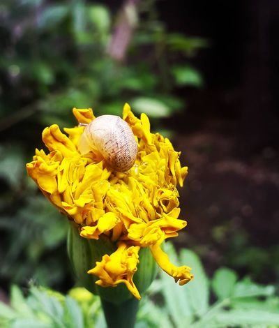 Caracoles  caracol Caracol Flowers Flower Head Yellow Beauty In Nature Botany Flower Day Single Flower Pollen Vibrant Color Flor Close-up Flordemuerto caracol Caracol De Jardin Nature Fragility Growth Flower Yellow Freshness Petal Fragility Flower Head
