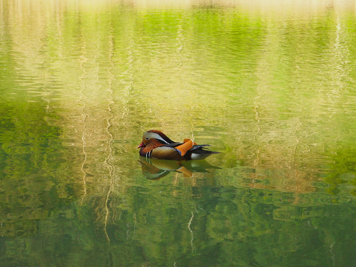 High angle view of a duck floating on lake