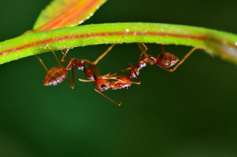 red ants togetherness EyeEm Nature Lover EyeEm S EyeEm Best Shots EyeEm Best Shots - Nature EyeEm Nature Lover Insecta Solenopsis Teamwork Animal Themes Animal Wildlife Animals In The Wild Ant Close-up Communication Cooperation Day Fire Food Formicidae Garden Green Color Hardwork Insect Leaf Nature No People Outdoors Red Color Touching