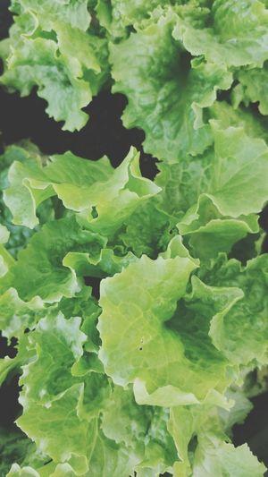 Backgrounds Leaf Full Frame Vegetable Close-up Green Color