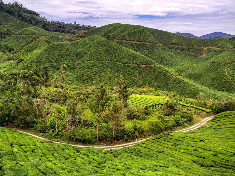Agriculture Beauty In Nature Cloud - Sky Crop  Day Environment Farm Field Green Color Growth Land Landscape Nature No People Outdoors Plant Plantation Rolling Landscape Rural Scene Scenics - Nature Tranquil Scene Tranquility Tree