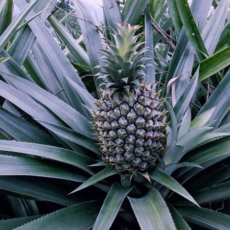 Outdoors Fruit Pineapple Tropical Fruit Green Color Close-up Farm Food And Drink Island Tropical Climate Freshness Growth Healthy Eating No People Nature Day Food