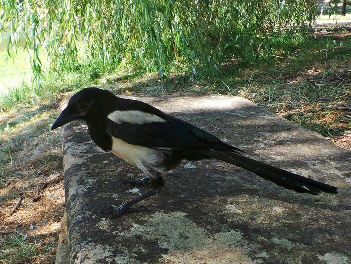 Elster Diebische Elster Freche Elster Magpie Bird Photography Cheeky Magpie