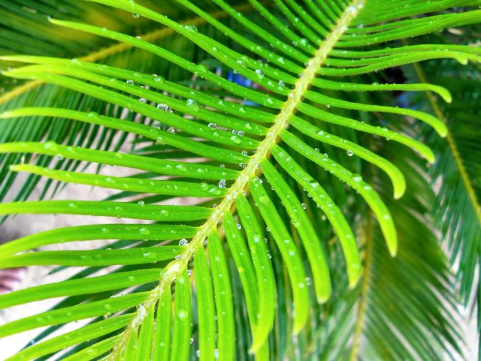 Leaf Green Color Nature Palm Leaf Frond Palm Tree Freshness Beauty In Nature Growth Close-up Drop Full Frame Fern Plant Day Backgrounds Outdoors Fragility No People