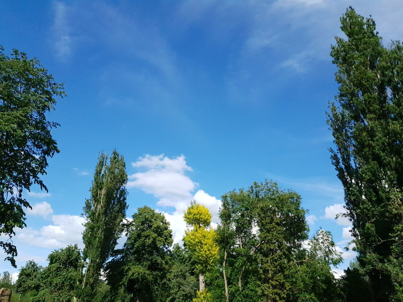 LOW ANGLE VIEW OF TREES AGAINST CLEAR SKY
