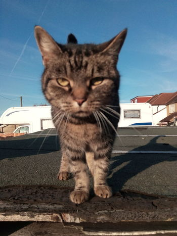 Domestic Cat Domestic Animals Animal Themes Feline Close-up Outdoors Sky Are You Looking At Me? Focused Random Cat Neighbourhood Cat Cat Caturday Happy Caturday Whisker Day No People Portrait Shadows