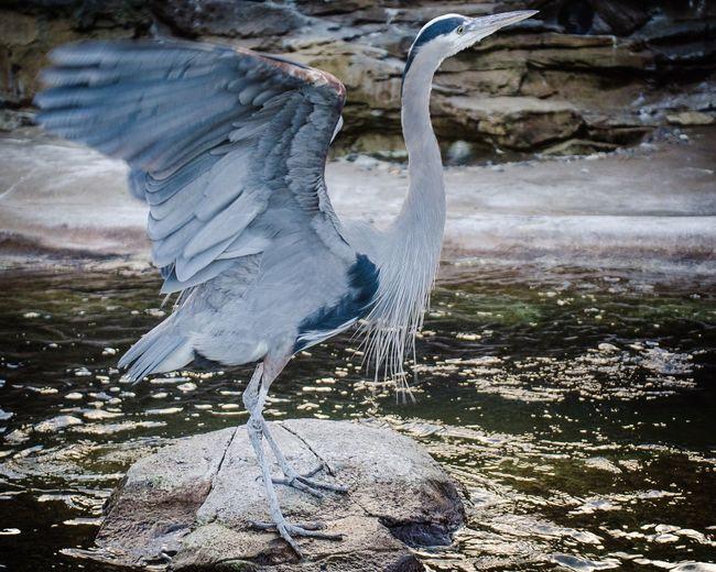 High angle view of gray heron on water