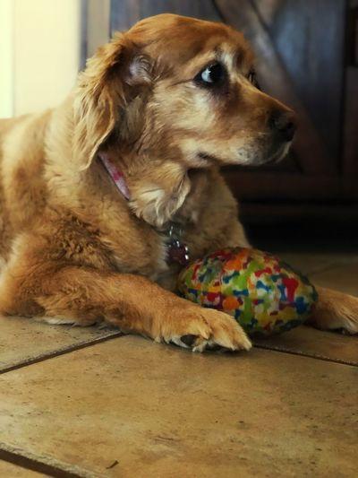 My girl Dog Pets Domestic Animals Indoors  One Animal Mammal Animal Themes No People