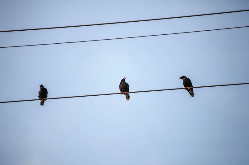 Three birds on the wires. Cable Animal Themes Bird Animals In The Wild Power Line  Connection Low Angle View Animal Wildlife Clear Sky Outdoors
