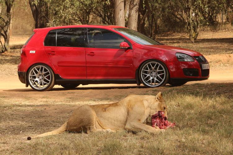 Lion Volkswagen Johannesburg Joburg Lion Park Feeding  Lunch Predator Red