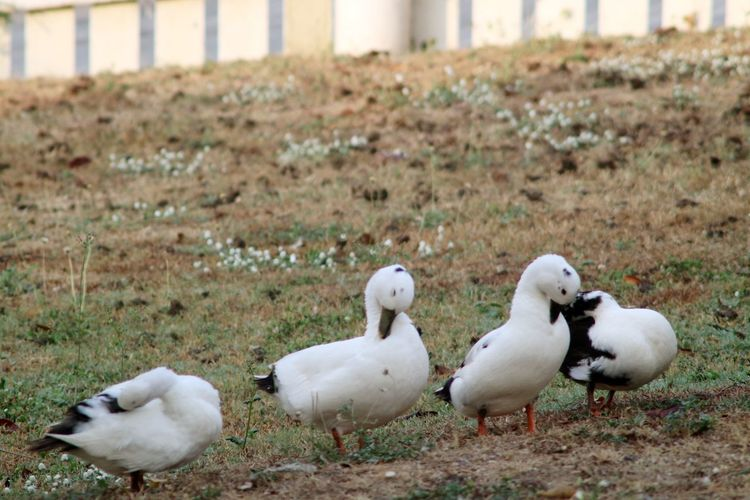 Ducks Group Of