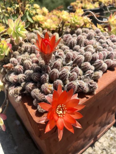 Close-up of succulent plant in flower pot