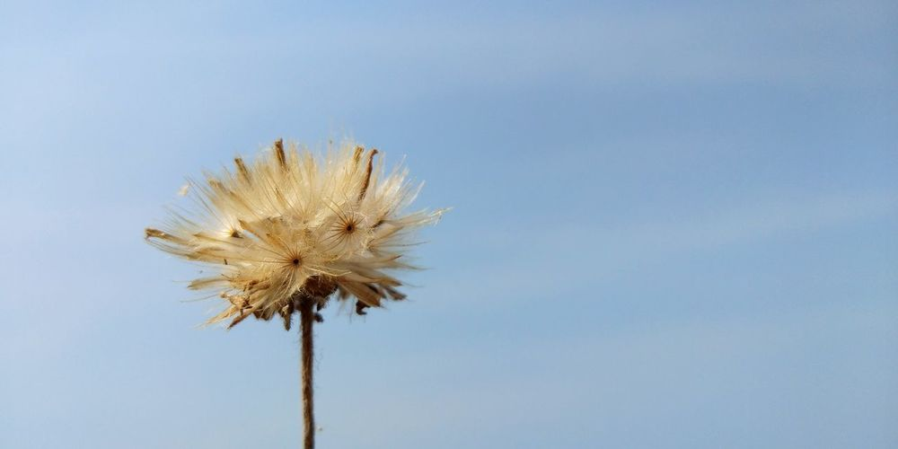 Close-Up Of Thistle Against Clear Sky