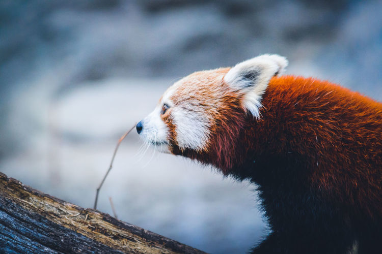 Close-Up Of Red Panda On Tree Trunk