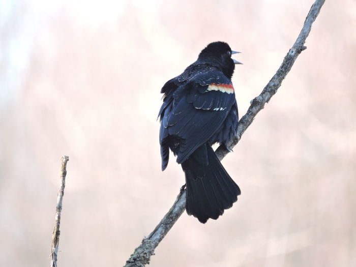 Red winged blackbird calling Animal Themes Animal Wildlife Animals In The Wild Bird Black Color Branch Day Low Angle View Nature No People One Animal Outdoors Perching Red Winged Black Bird Sky Tree Woodpecker