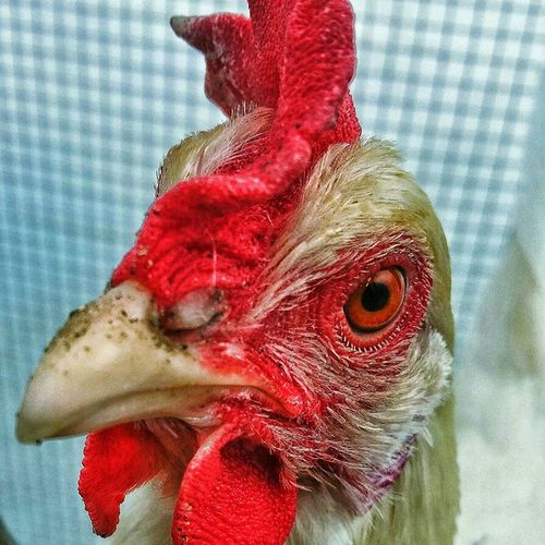 Close up of one of our chicken I took with my phone. Chicken Chickenfarmer