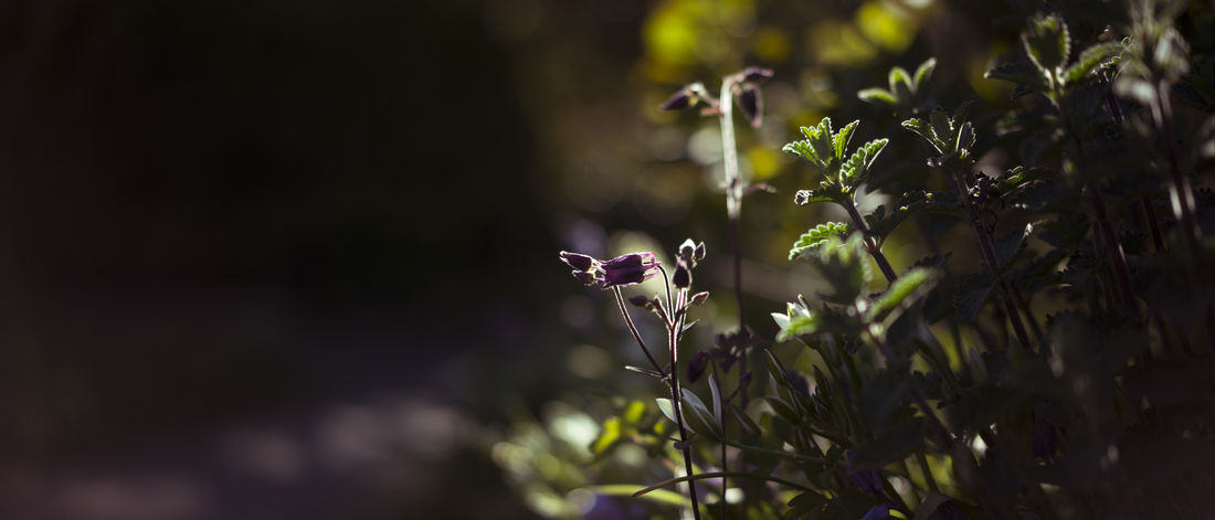 An almost blossoming columbine. Akelei Almost Aquilegia Beauty In Nature Blossoming  Bud Cinematic Close-up Columbine Dark Flower Fragility Freshness Garden Green Growth Highlights Nature Plant Purple Scenery Scenic Spring Summer Wide