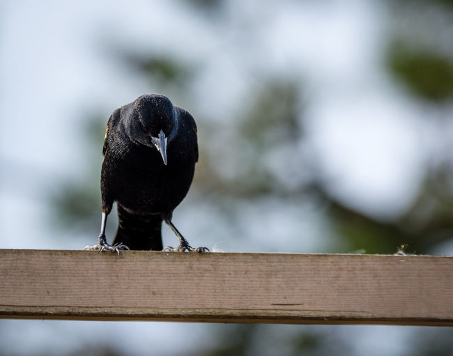 Red Winged Black Bird Animal Animal Themes Animal Wildlife Animals In The Wild Barrier Bird Black Color Close-up Day Fence Focus On Foreground Nature No People One Animal Outdoors Perching Railing Selective Focus Vertebrate Wood - Material