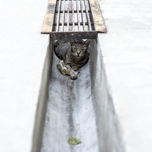 Cat In Sewage